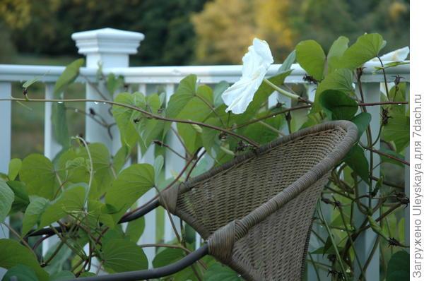 Ипомея белая, фото сайта agardenforall.com