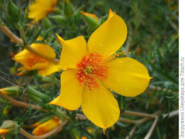 Ментцелия Линдлея, фото сайта www.botanicalgarden.ubc.ca