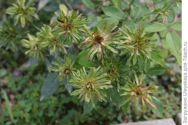 Роза бенгальская Green Rose
