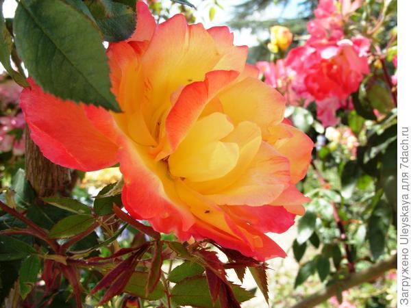 Цветок при распускании