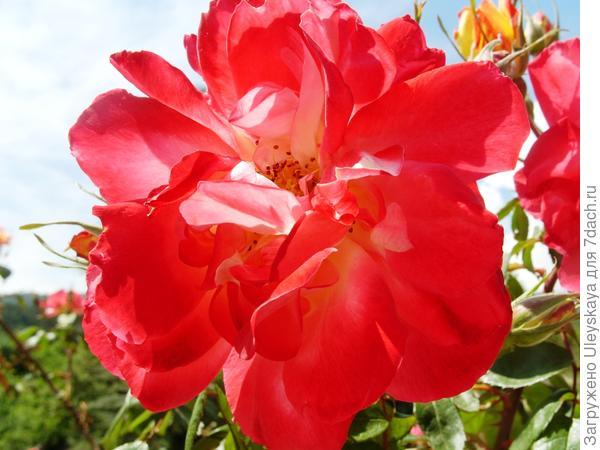 Цветок в конце цветения