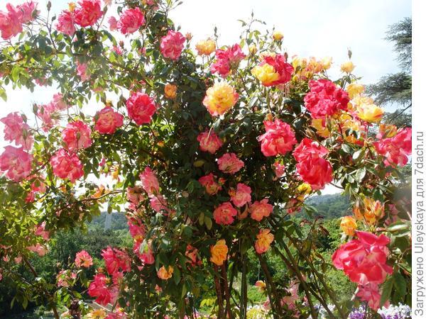 Полька Бабочка, массовое цветение
