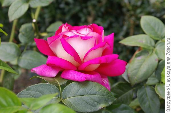 В аромате розы сорт Kronenburg чувствуются яблочные нотки
