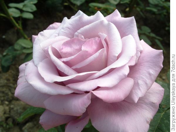 Роза сорт Blue Nil с божественным ароматом