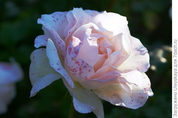 Цветок розы Johann Strauss осенью