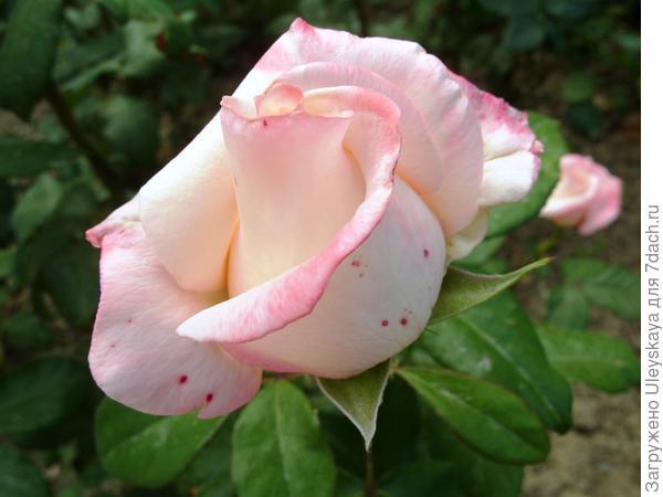 Чайногибридная роза сорт Anna