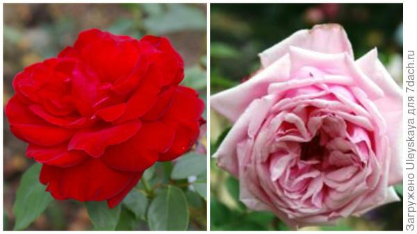 Современная красавица роза сорт Le Rouge et le Noir в моем объективе и родоначальница чайногибридных роз сорт La France, фото сайта www.frukta.ru