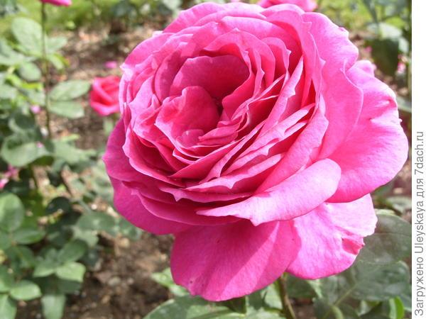 Чайногибридная роза сорт Big Purple