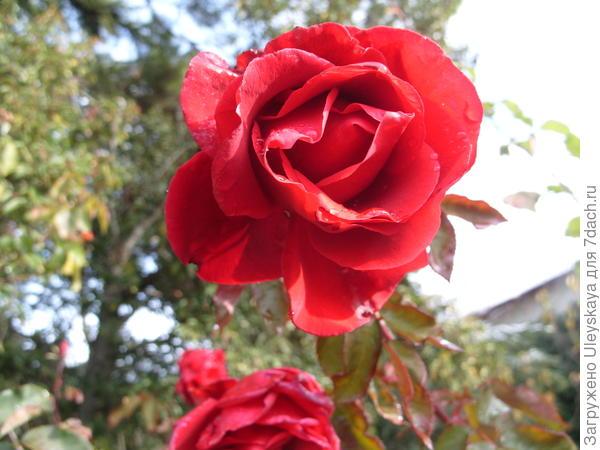 Цветок розы Fontaine в декабре