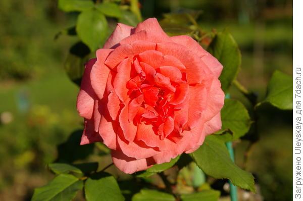 Роза сорт селекции Тантау Pariser Charme