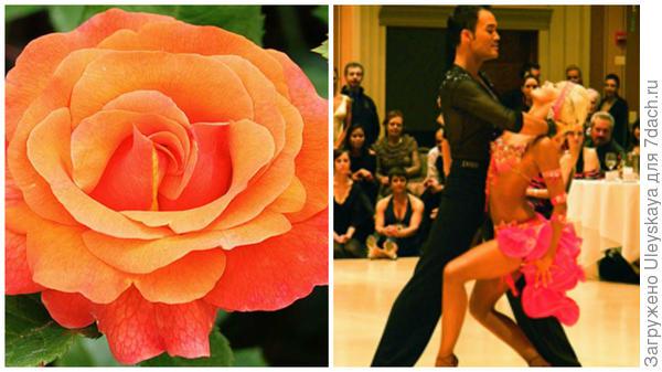 Роза сорт Mambo, фото сайта shop.greensib.ru и зажигательный танец мамбо, фото сайтаiml.jou.ufl.edu