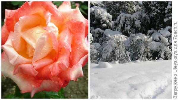 Роза сорт Frohsinn и замерзший Сад, розы укрытые снегом, ЮБК