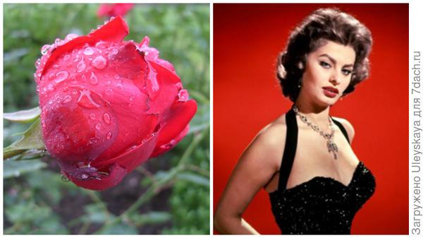 Роза сорт Sophia Loren и Софи Лорен, фото сайта Uznayvse.ru