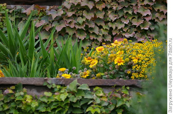 Золотистые красавицы осенью