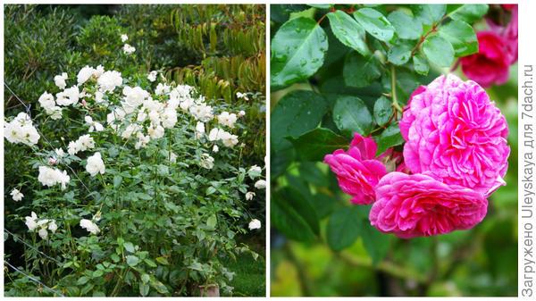 Слева роза сорт Айсберг
