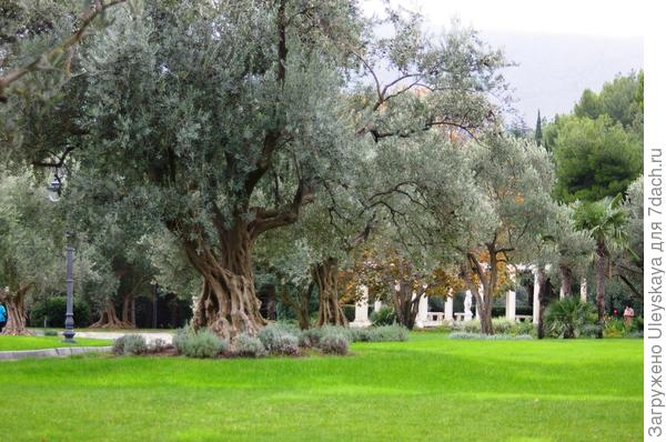 Минор в маслинах