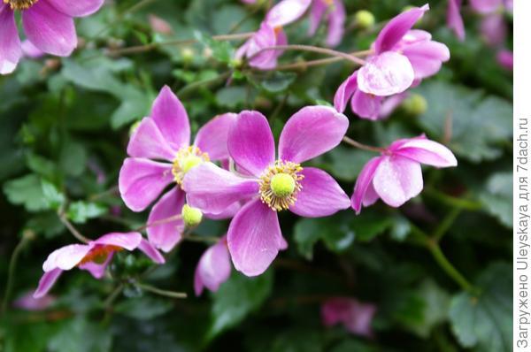 Цветет ветреница японская