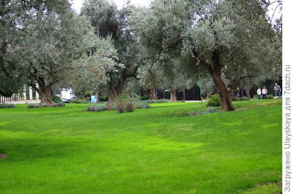 Роща маслины европейской