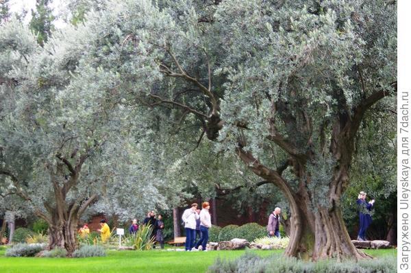 200 летние маслины