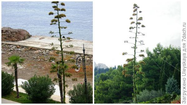 Цветонос агавы американской в октябре, слева вид сверху, справа вид снизу