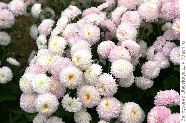 Хризантема сорт Славяночка