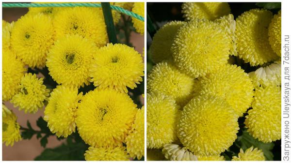 Хризантема сорт Ping Pong Yellow