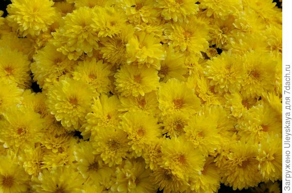 Хризантема сорт Axima Gold