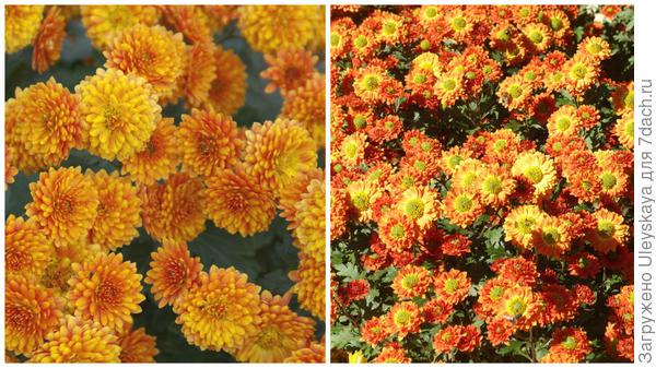 Хризантема сорт Никитская Юбилейная 2016 г (фото слева) и 2013 г (фото справа)