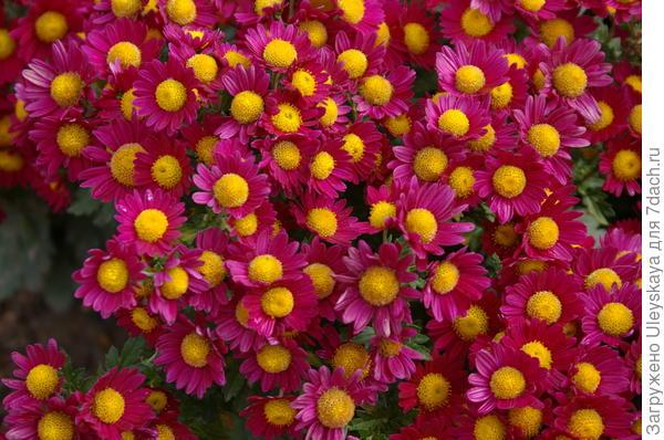 Хризантема сорт Мальвина
