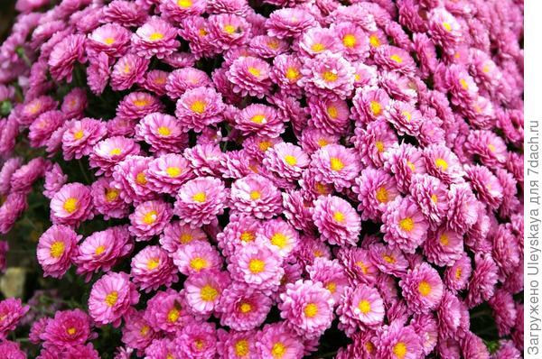 Хризантема сорт BB Purple
