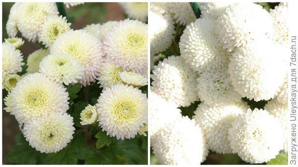 Хризантема сорт Ping Pong White