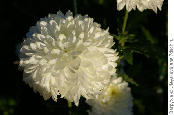 Хризантема сорт Zembla White