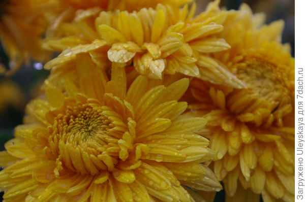 Хризантема сорт Янтарная Леди
