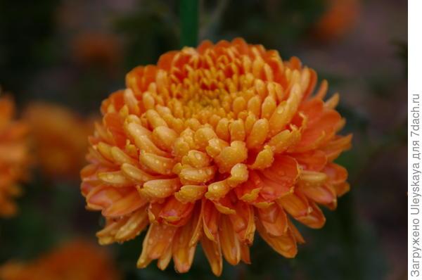 Хризантема сорт Astro Bronze