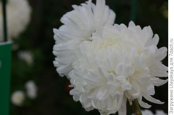 Хризантема сорт Ribonet