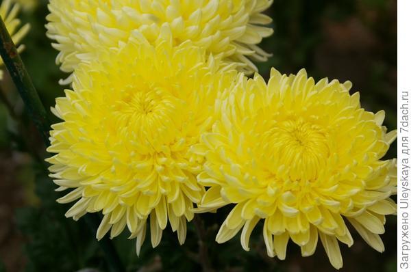 Хризантема сорт Cremiest Yellow