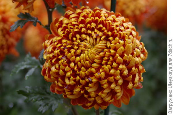 Хризантема сорт Resow