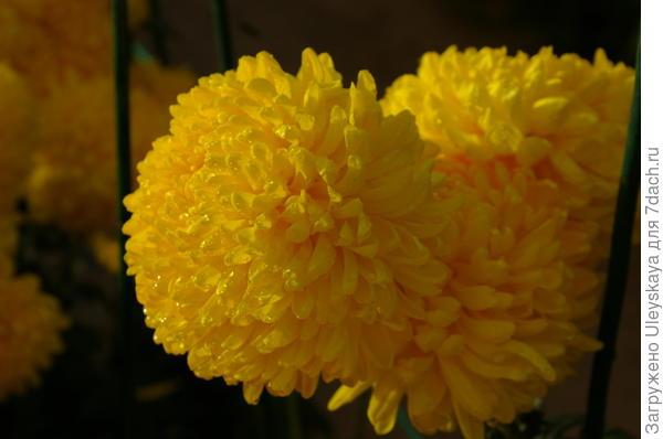 Хризантема сорт Апельсиновый Шар
