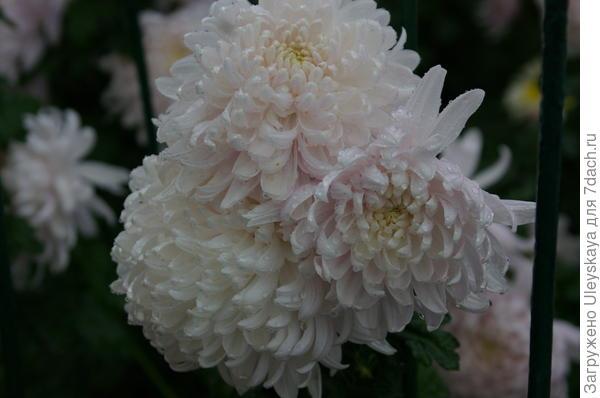 Хризантема сорт Chita