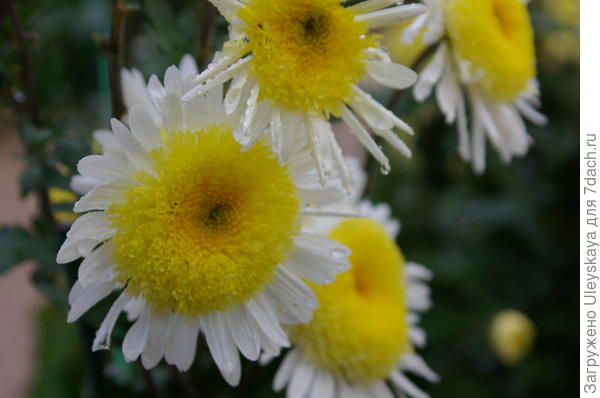 Хризантема сорт Рандеву