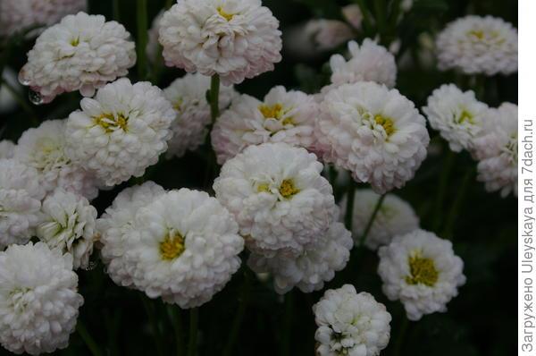 Хризантема сорт Gipsofila
