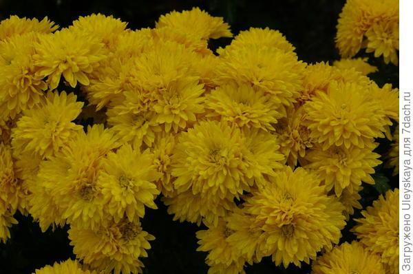 Хризантема сорт Mount Carmen