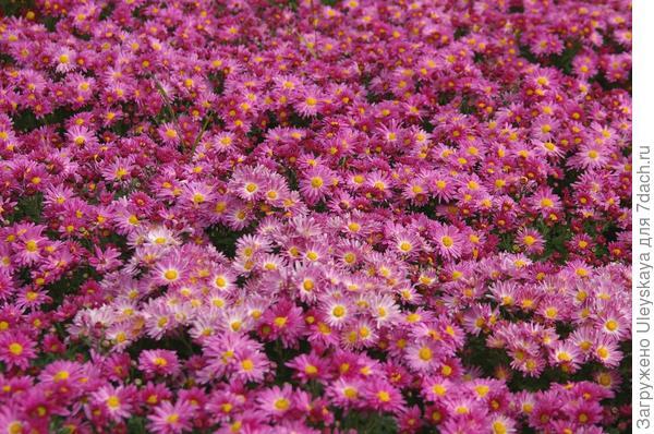 Хризантема сорт Сиреневый Туман