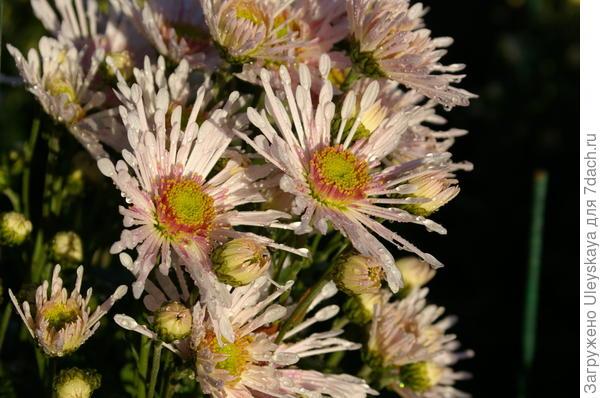 Хризантема сорт Annesy White