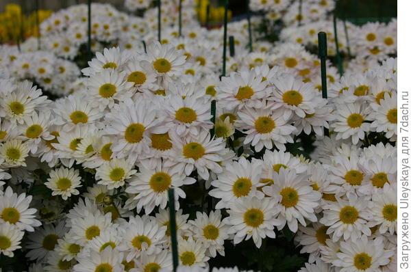 Хризантема сорт Bacardi White