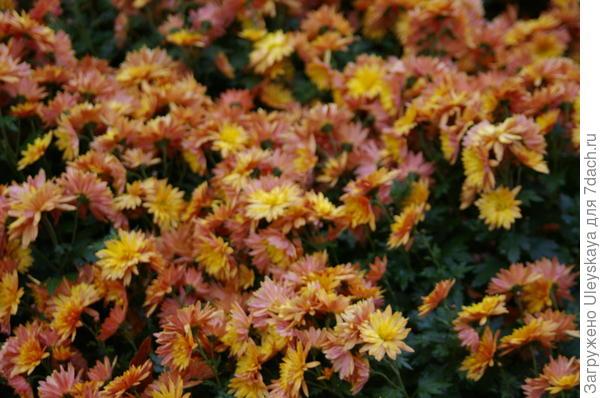 Хризантема сорт Никитская Осень