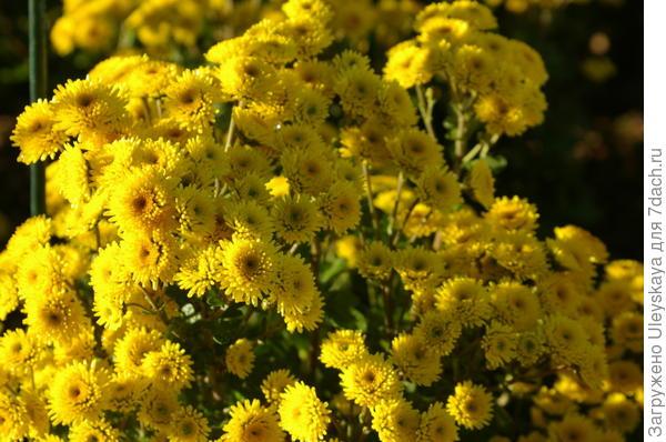 Хризантема сорт Stallion Yellow