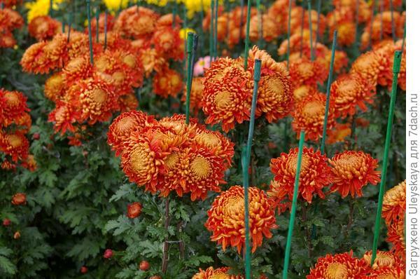 Хризантема сорт Resov