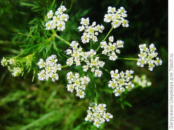 Бутень клубненосный, фото сайта Botanik im Bild