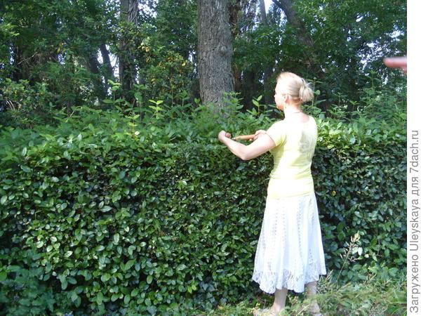 Стрижем живую изгородь из калины вечнозеленой, фото автора
